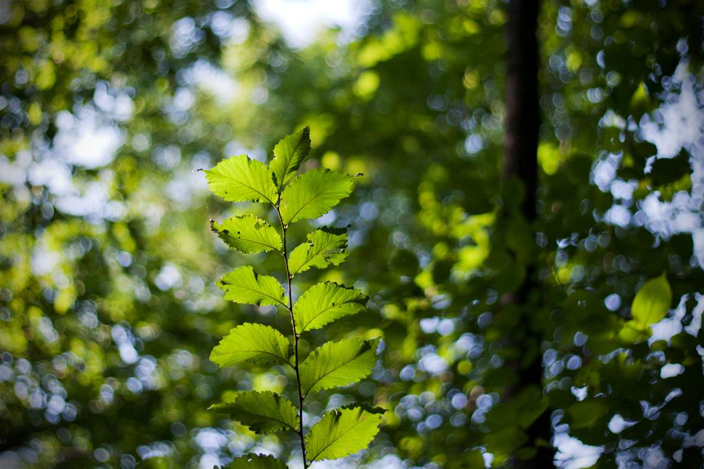 Im Gegenlicht der Sommersonne leuchten die Blätter hellgrün auf.