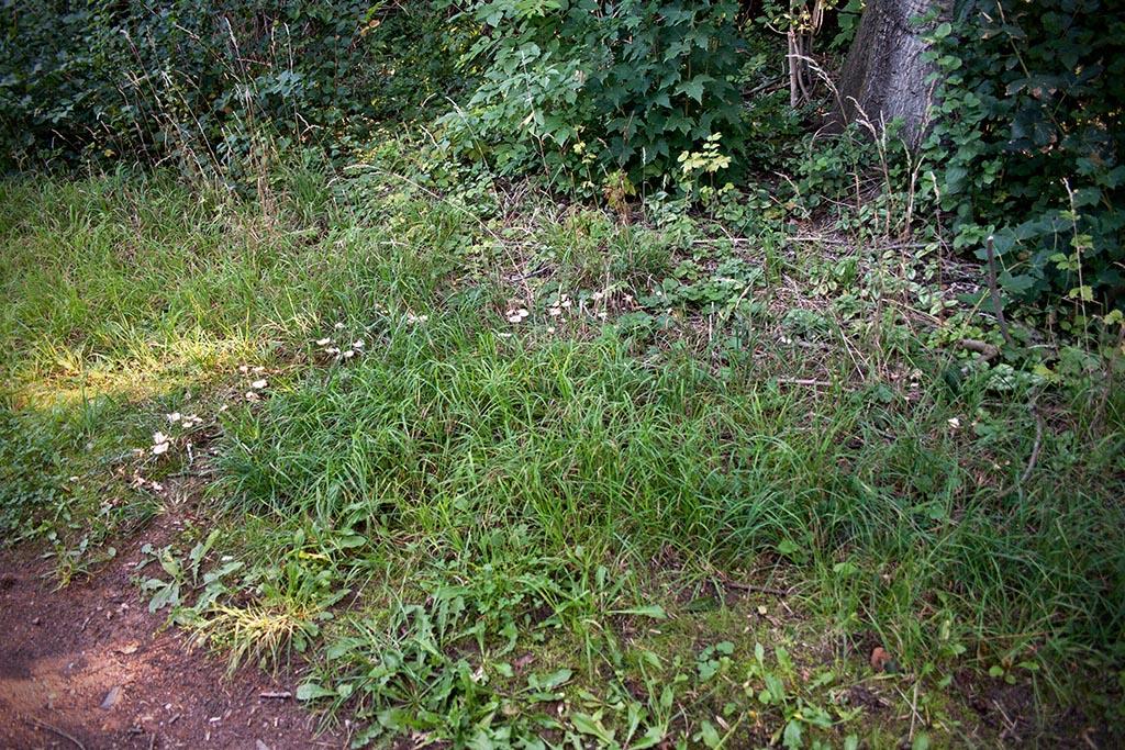 Einen fast vollständigen Kreis aus kleinen Pilzen sieht man selten. In manchen Gegenden wird er als Feen- oder Hexenkreis bezeichnet.